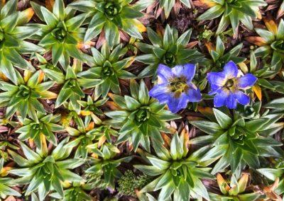 Cushion_plants