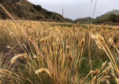 alpine_tundra_golden_grass